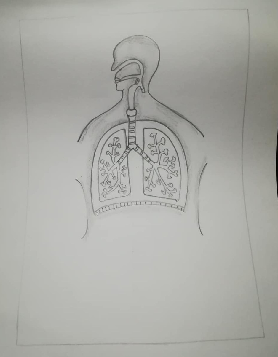 How To Draw Human Respiratory System 6 Easy Steps